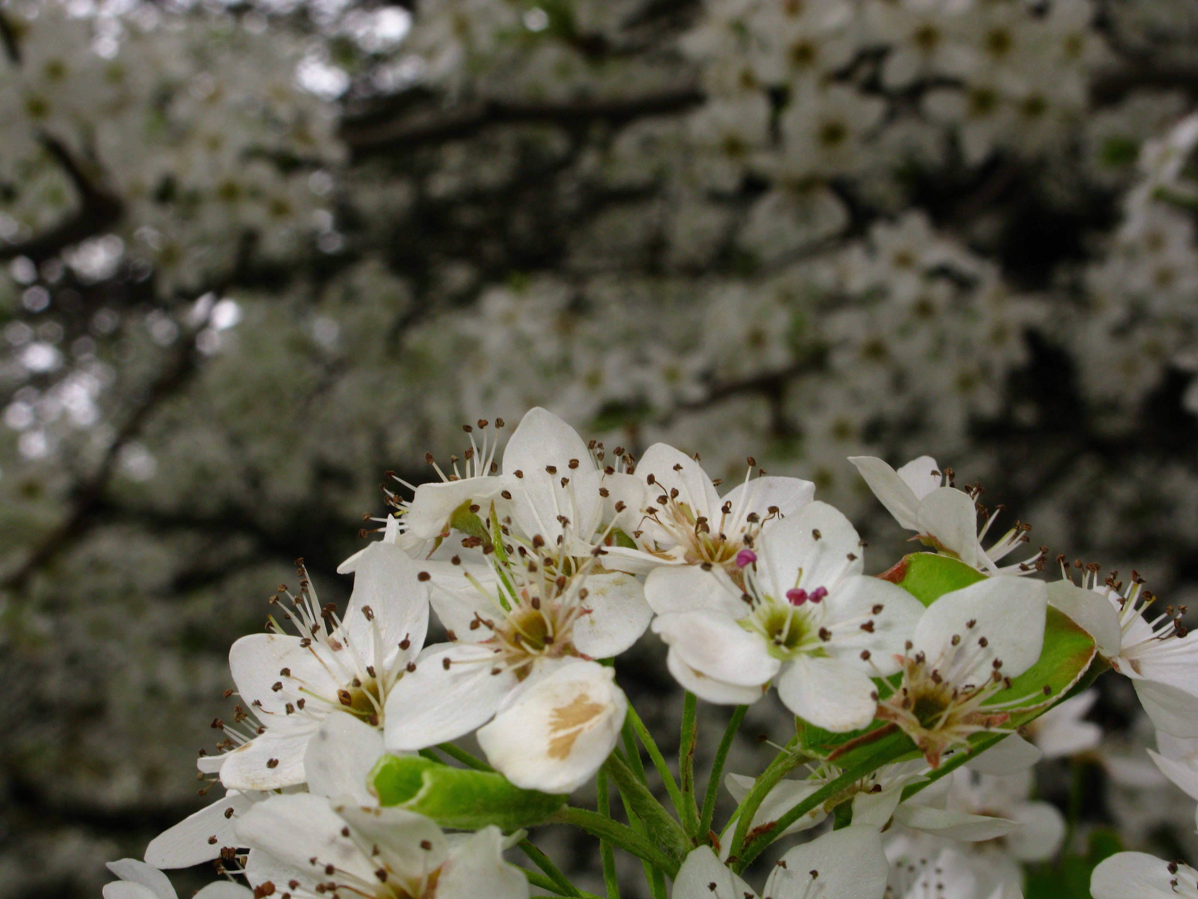 File Flowering pear tree macro West Virginia ForestWander