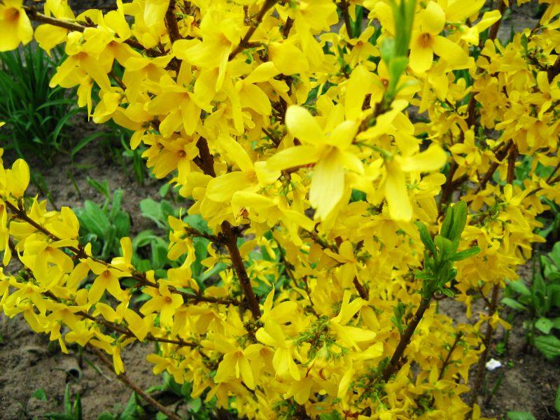 Cespuglio fiori gialli ispirazione design casa - Fiori gialli profumati ...