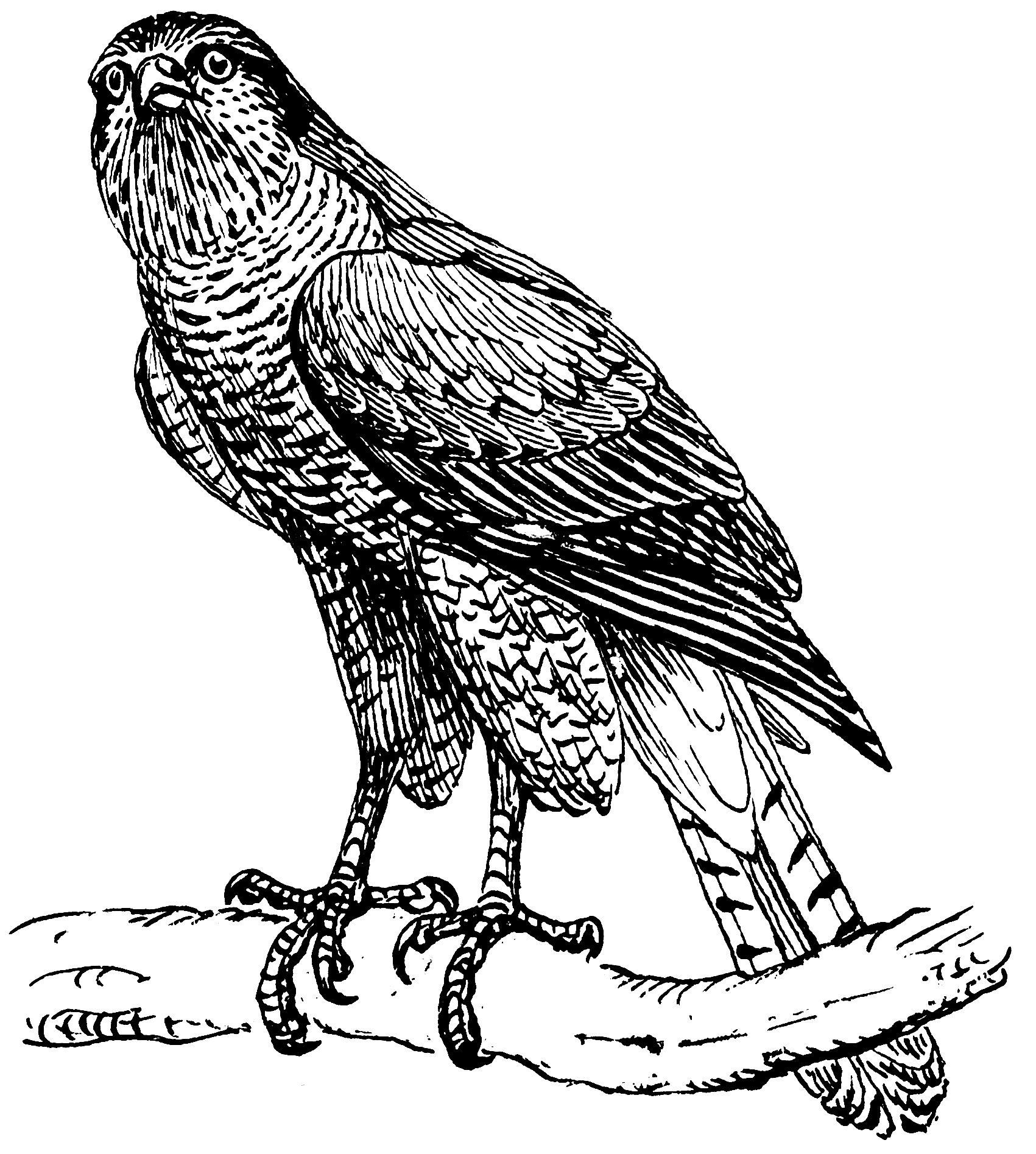 Image Result For Eagles Coloring Pages
