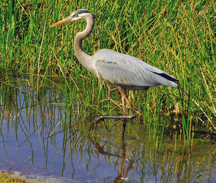 https://commons.wikimedia.org/wiki/File:Great_Blue_Heron_Wading_2.jpg
