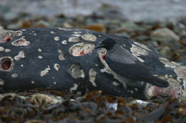 File:Hooded Crow (Corvus cornix), Uyeasound - geograph.org.uk - 1079640.jpg