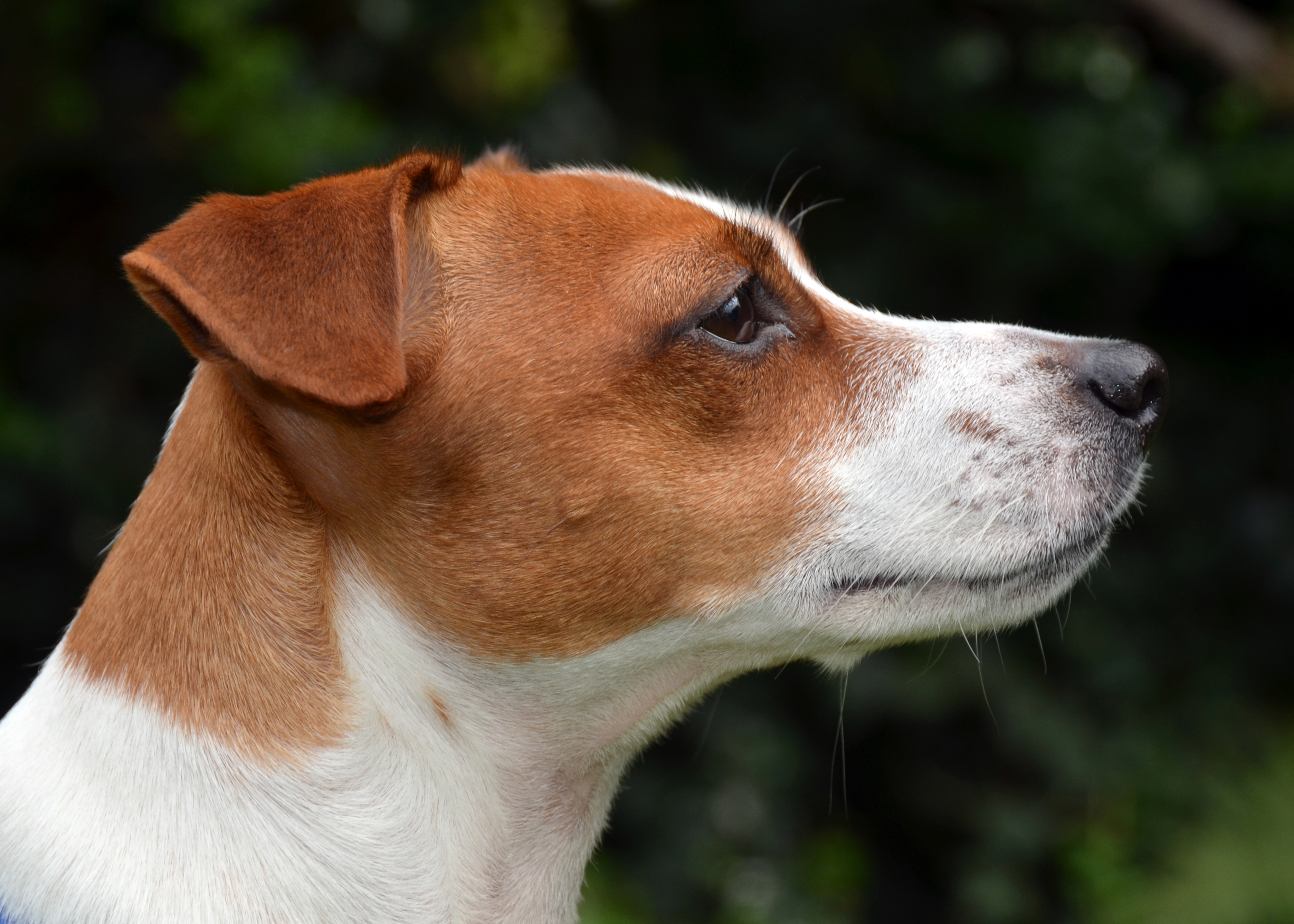 Jack Russell Black And Brown Dog