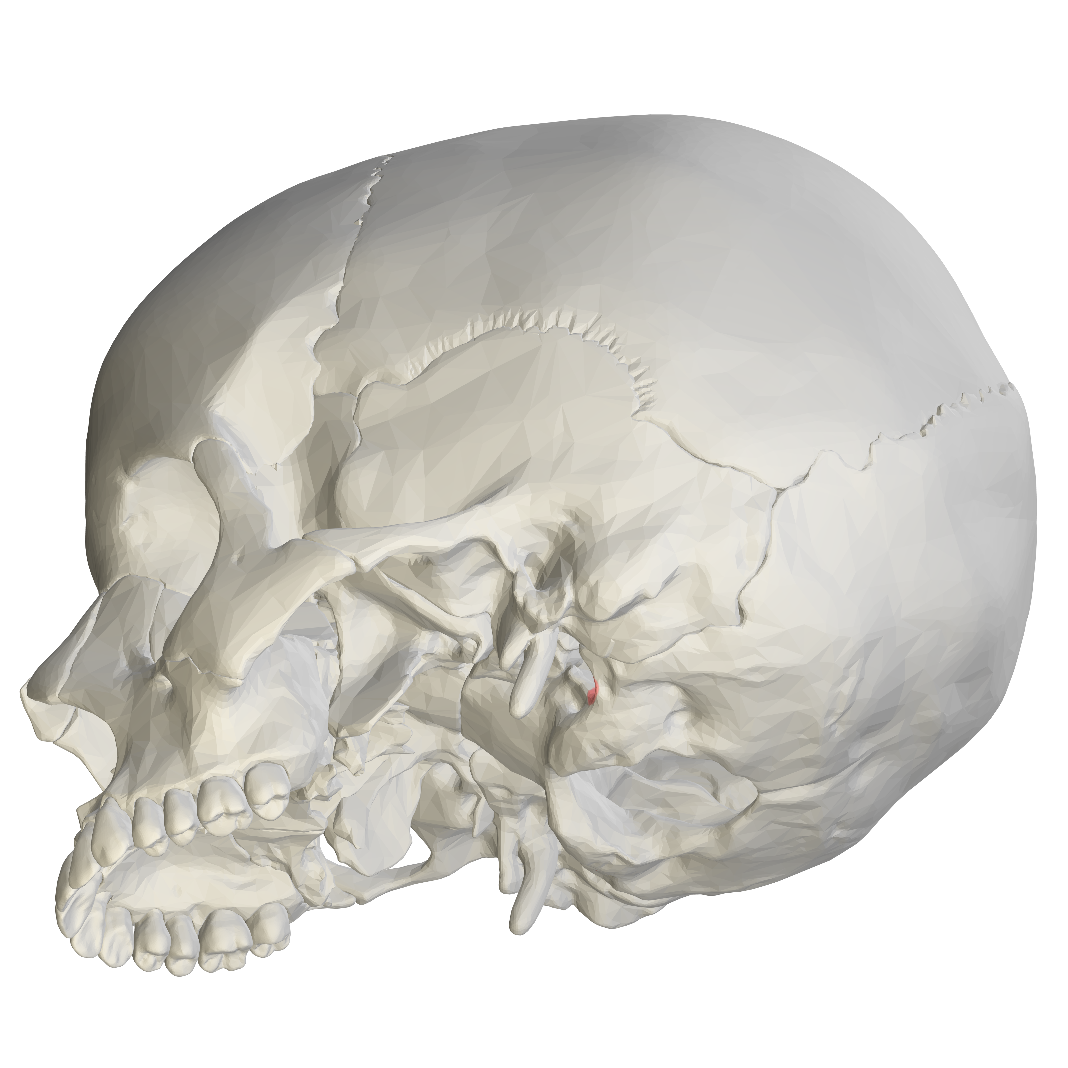 Jugular Notch Occipital Bone File:Jugular not...