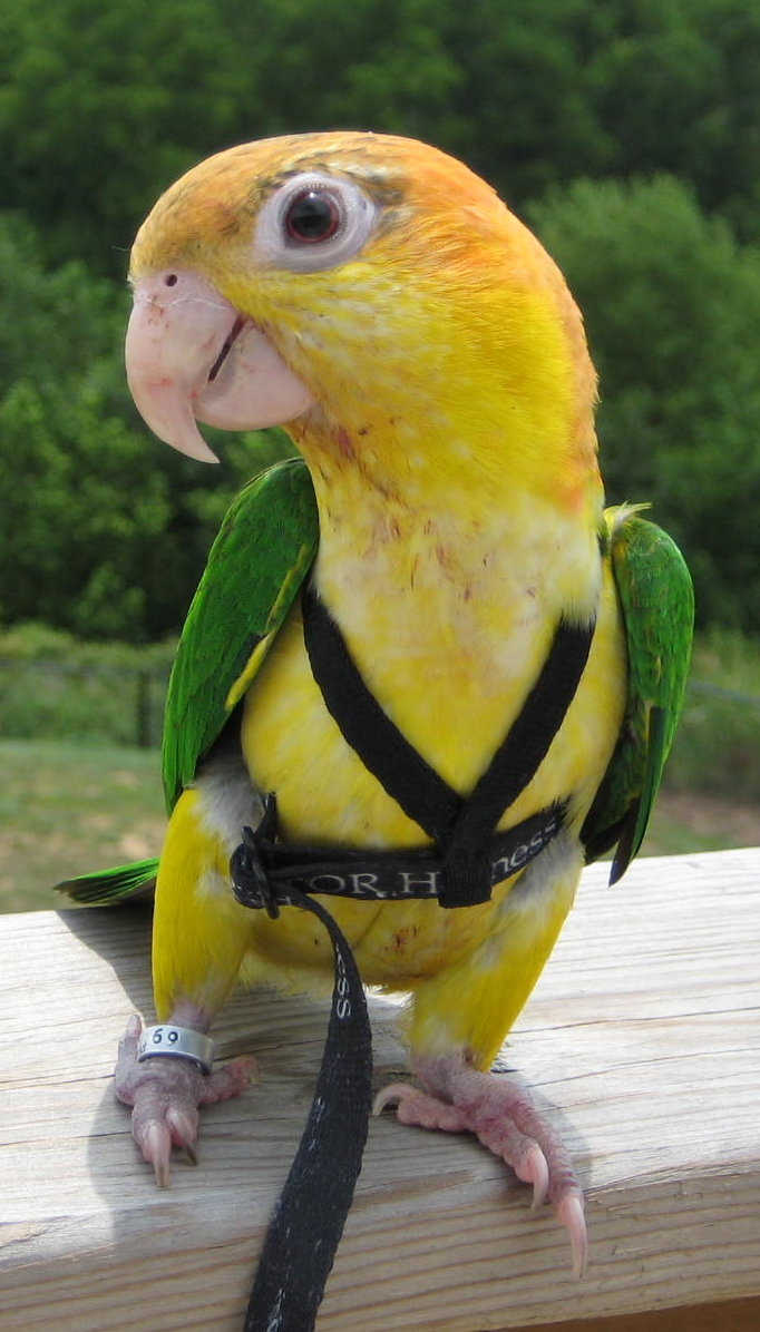 parrot harness wikipedia