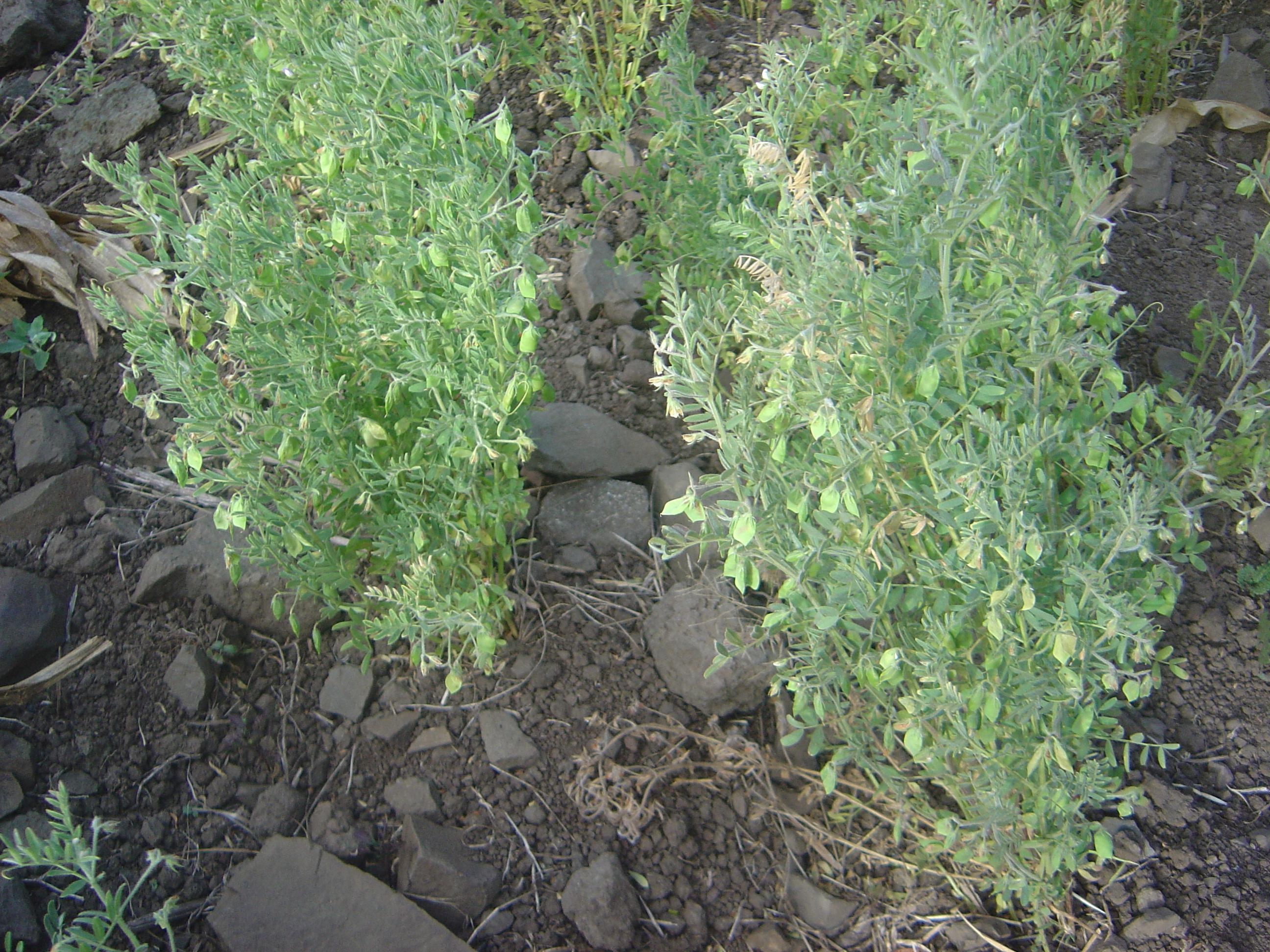 Mafate Marla lentils dsc00647.jpg