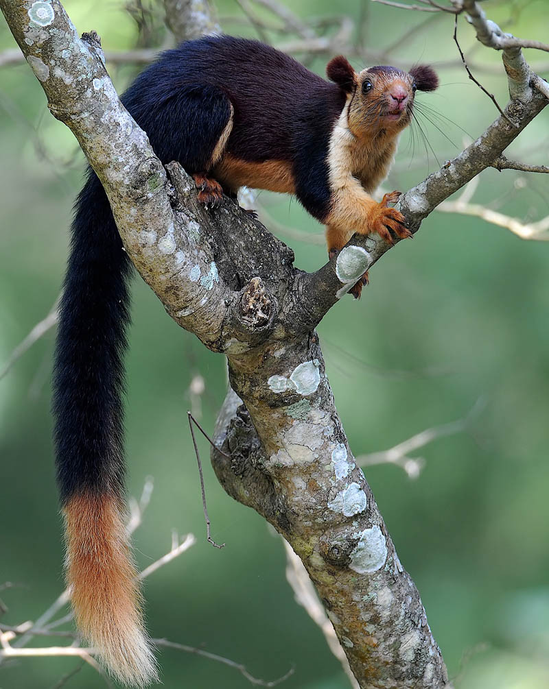 The Indian Giant Squirrel – Secret Supersize Squirrel on ...