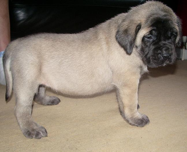 Description mastiff pup 4 weeks jpg