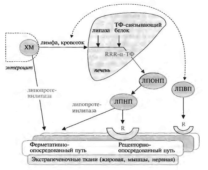 витамин b википедия