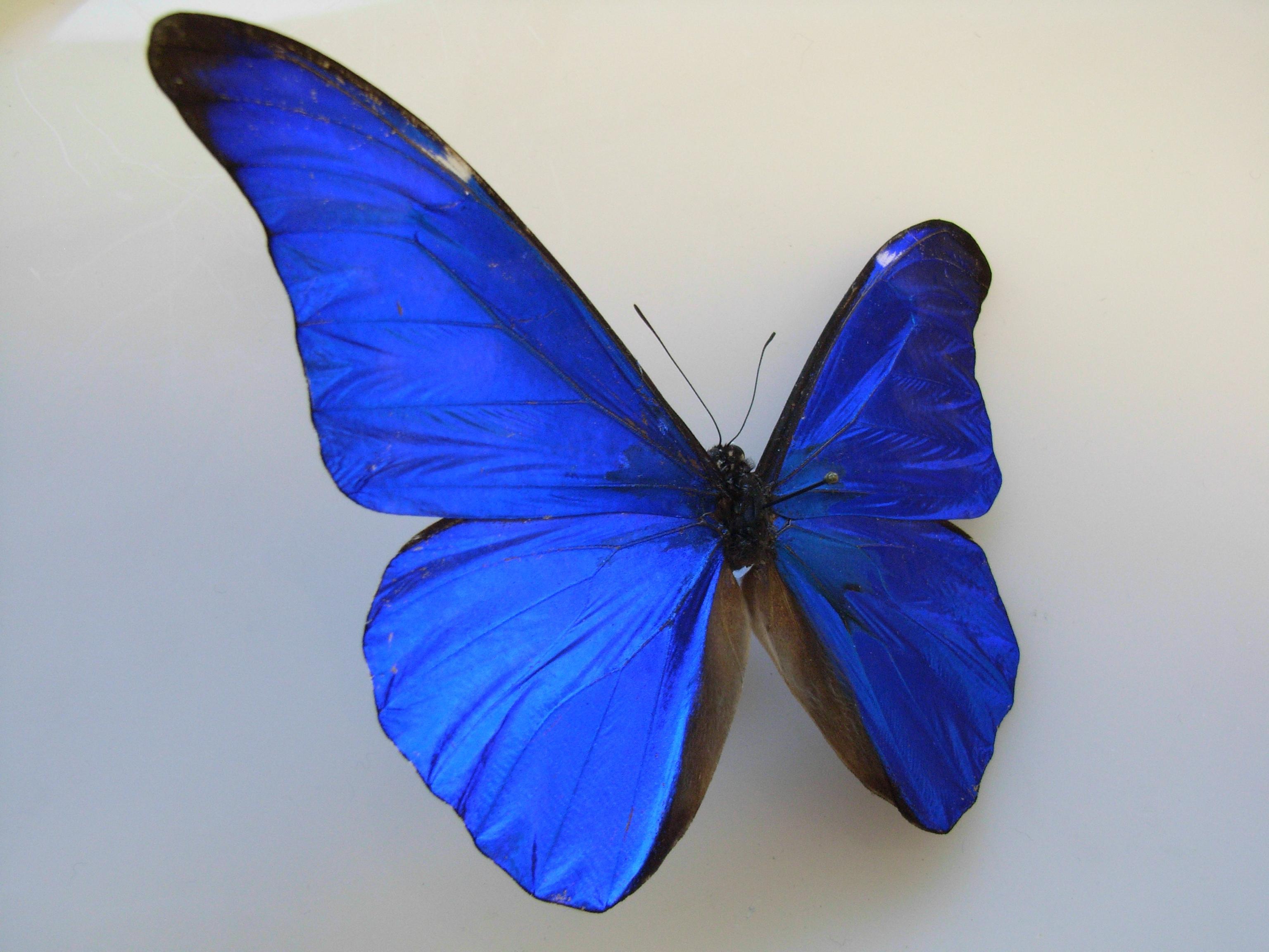 Butterflies of Amazonia - Morpho rhetenor