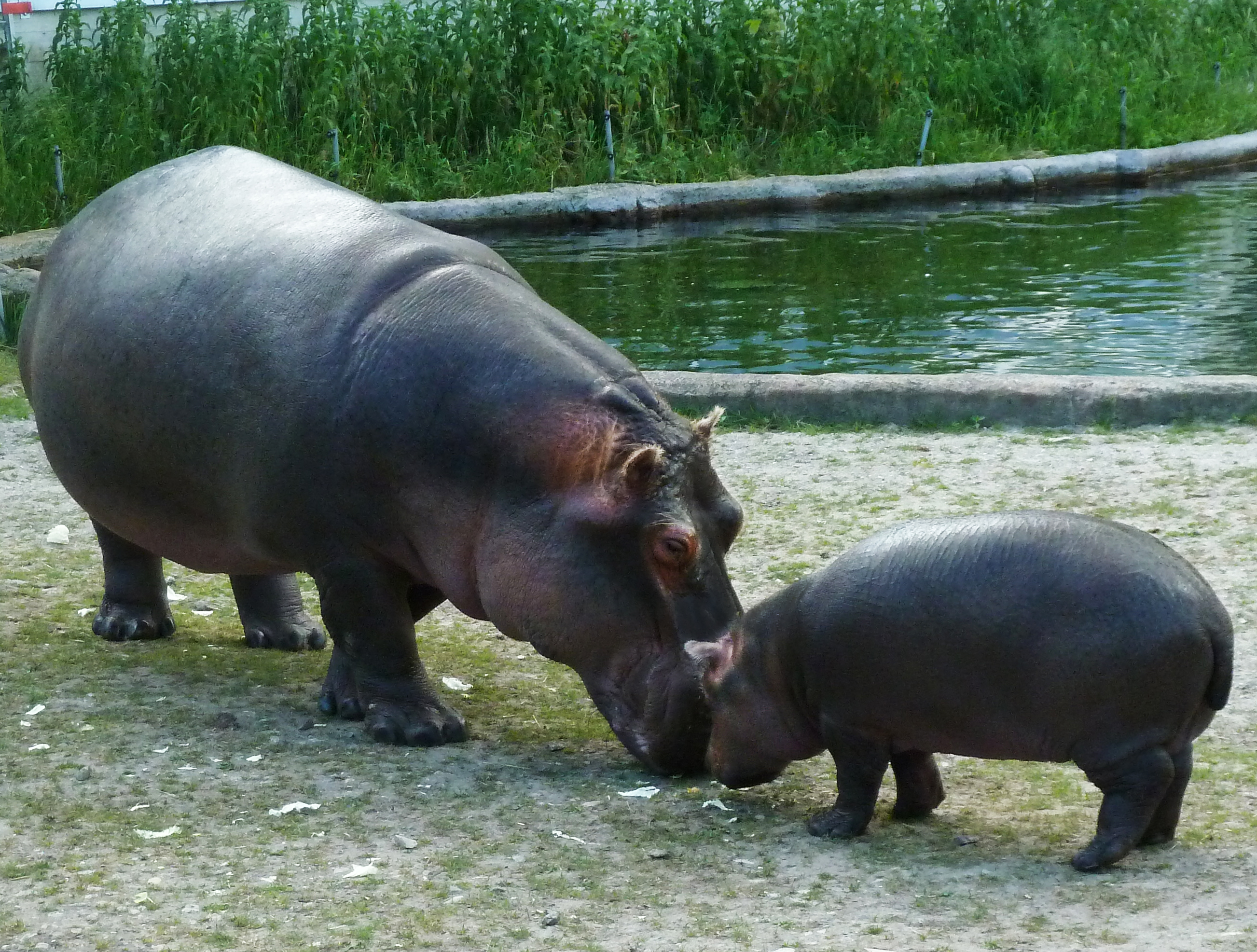 File Mother Hippo And Baby Hippo Jpg