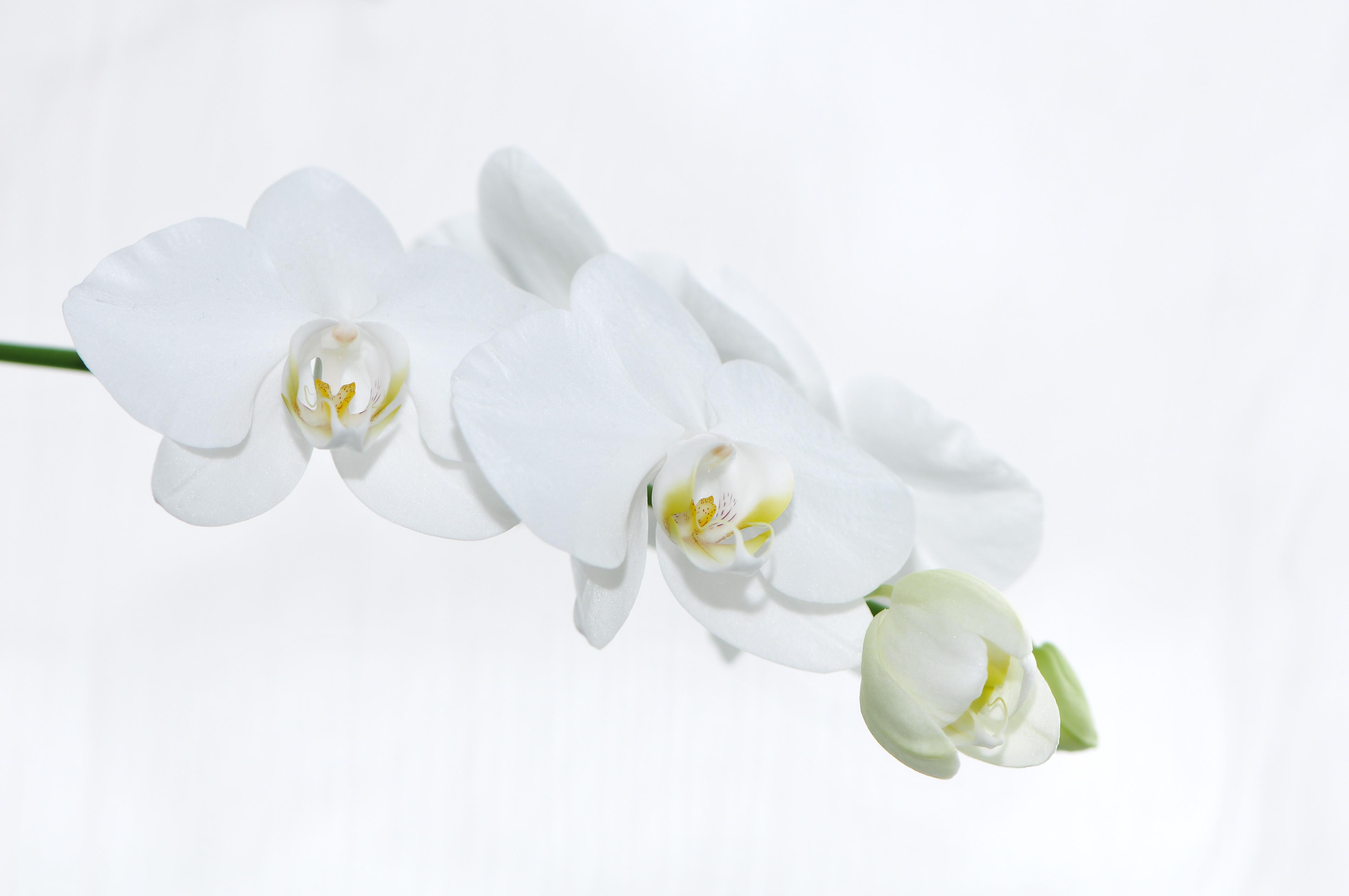 File:Nachtfalter Orchidee, Phalaenopsis 13.JPG - Wikimedia Commons