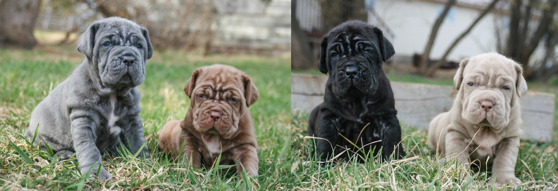 File Neapolitan Mastiff Puppies Png