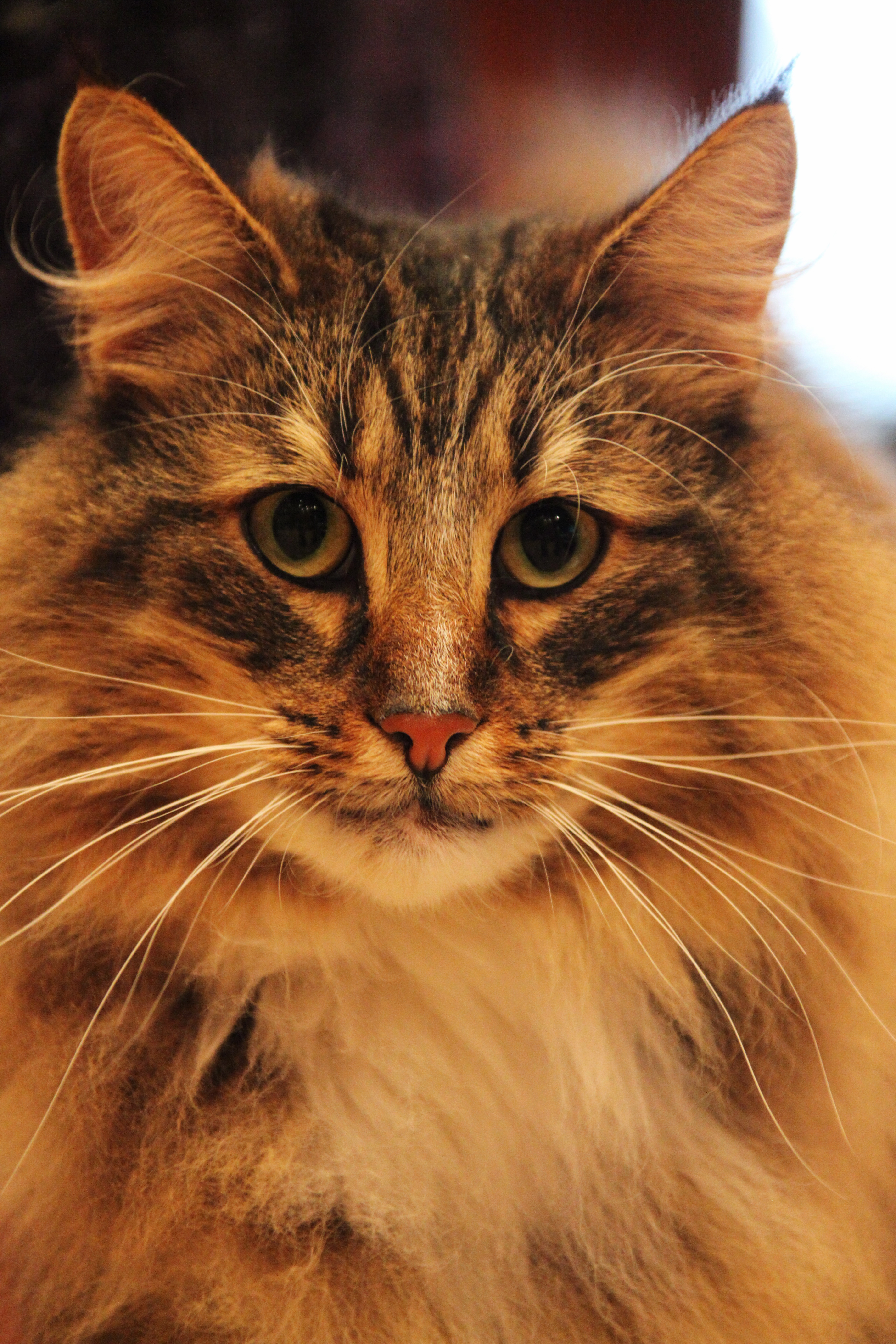 Norwegian Forest Cat For Sale Near Rochester Ny