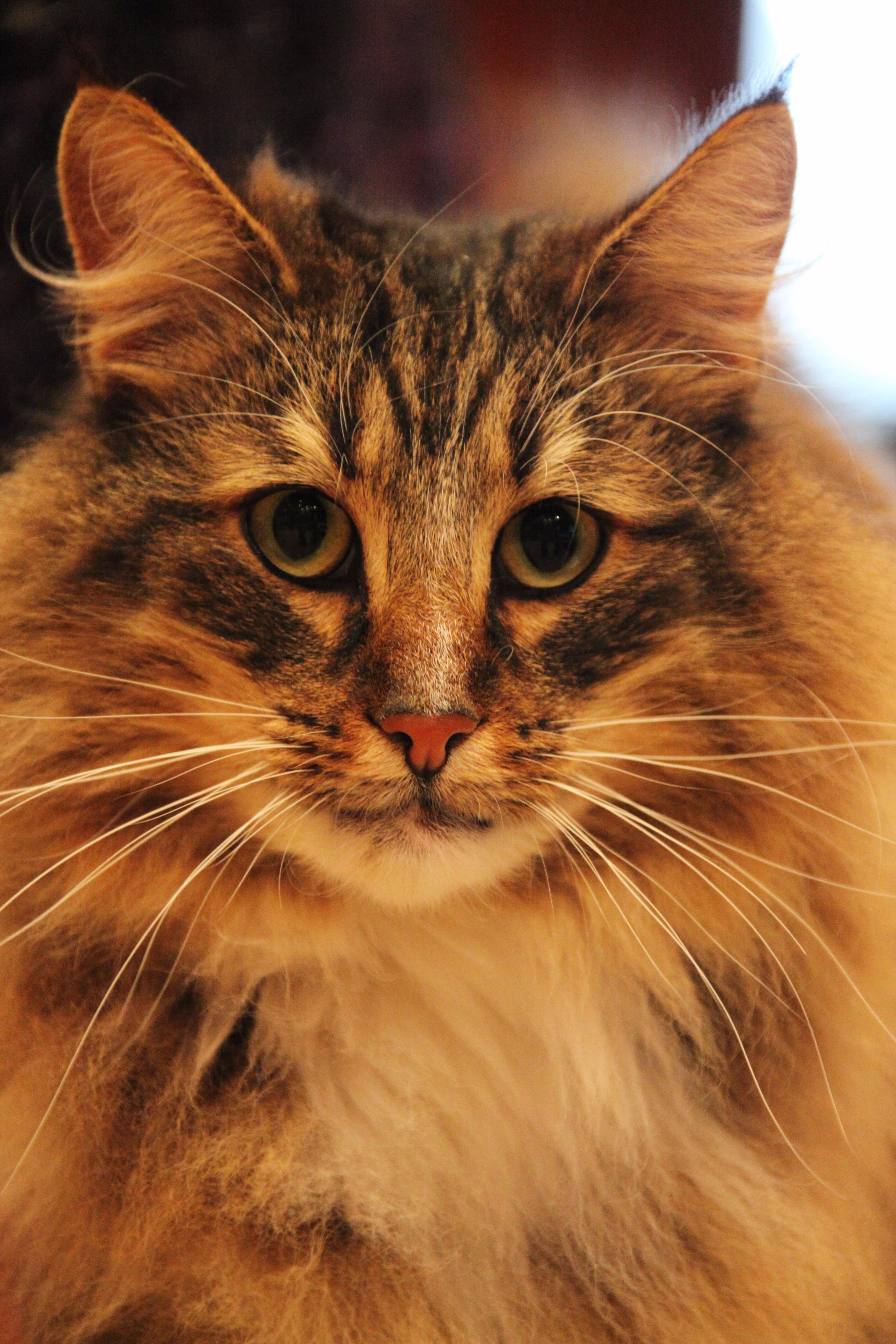 File:Norwegian Forest Cat face.jpg - Wikimedia Commons Tabby Norwegian Forest Cat