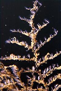 Pennaria disticha
