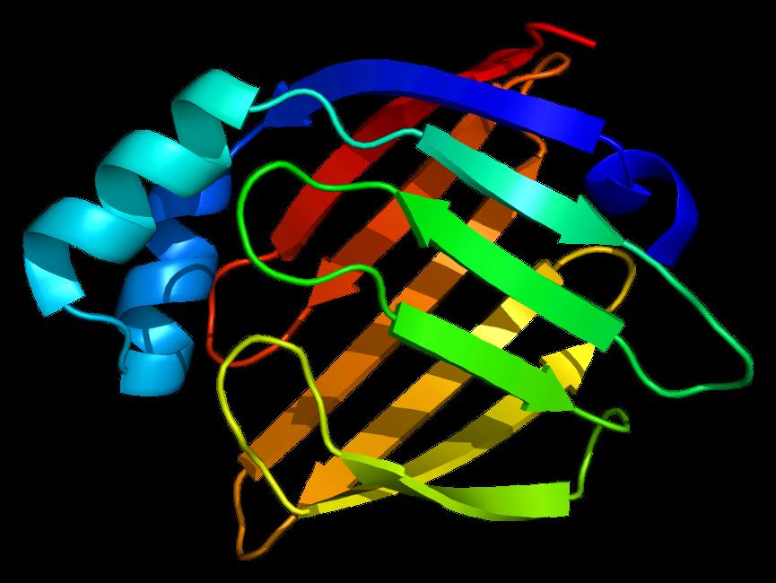 Heart-type fatty acid binding protein - Wikipedia