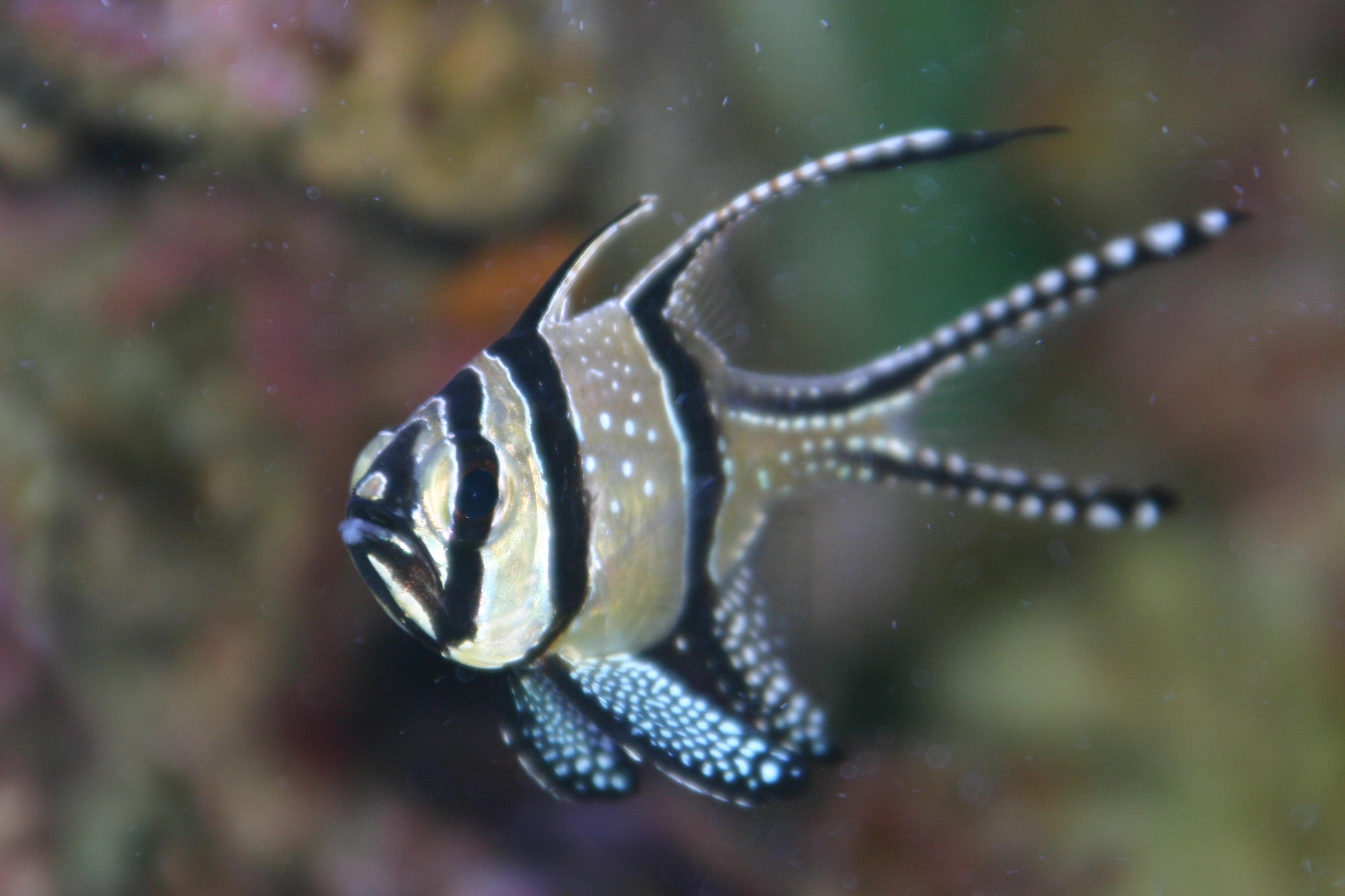 Risultato immagini per Pterapogon kauderni