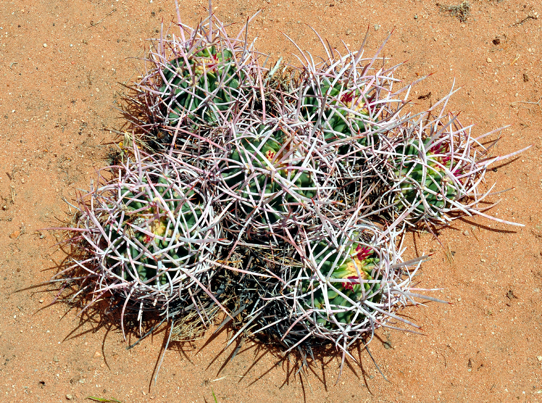 Scott MacLeod's Anthropology of Information Technology ... Baby Barrel Cactus