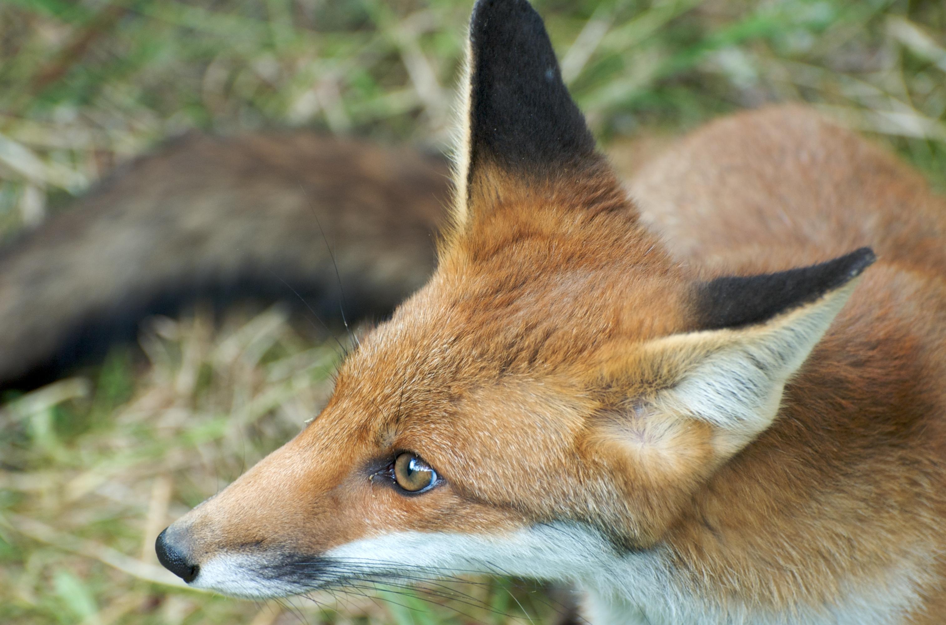 how to make a fox head