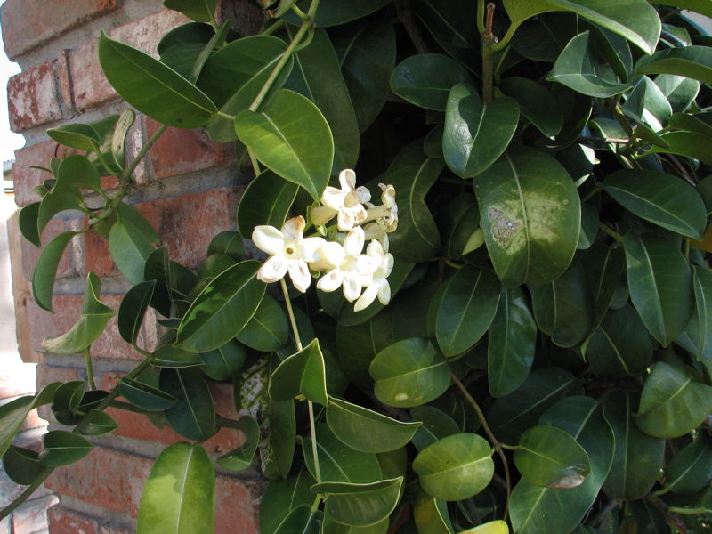 Stephanotis floribunda wikipedia mightylinksfo