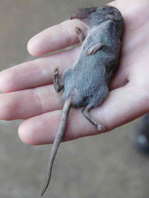 The average adult weight of a Greater dwarf shrew is 8 grams (0.02 lbs)
