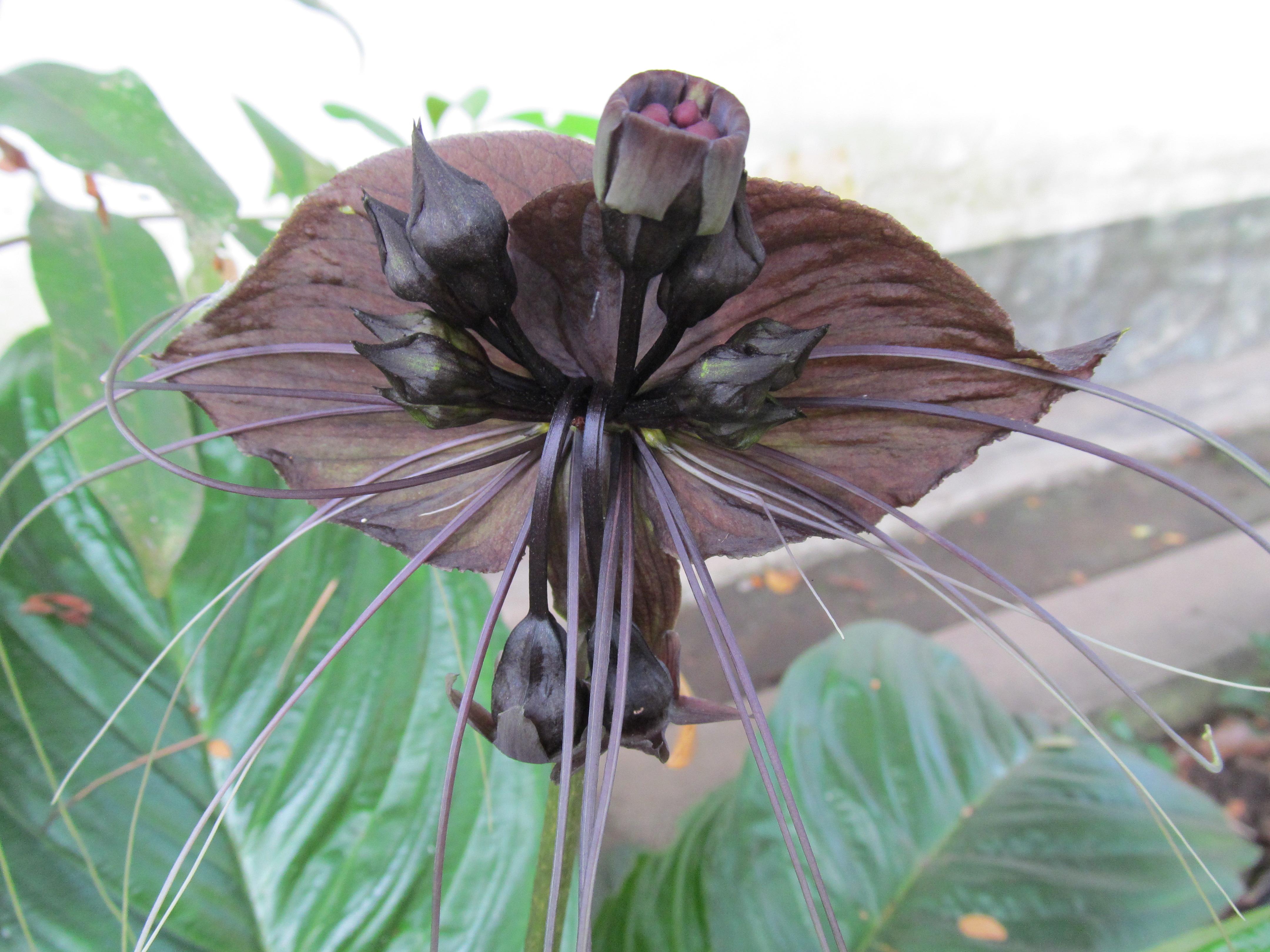 File Tacca chantrieri Kerala Vavvalpoovu black bat flower 03 JPG Wikime