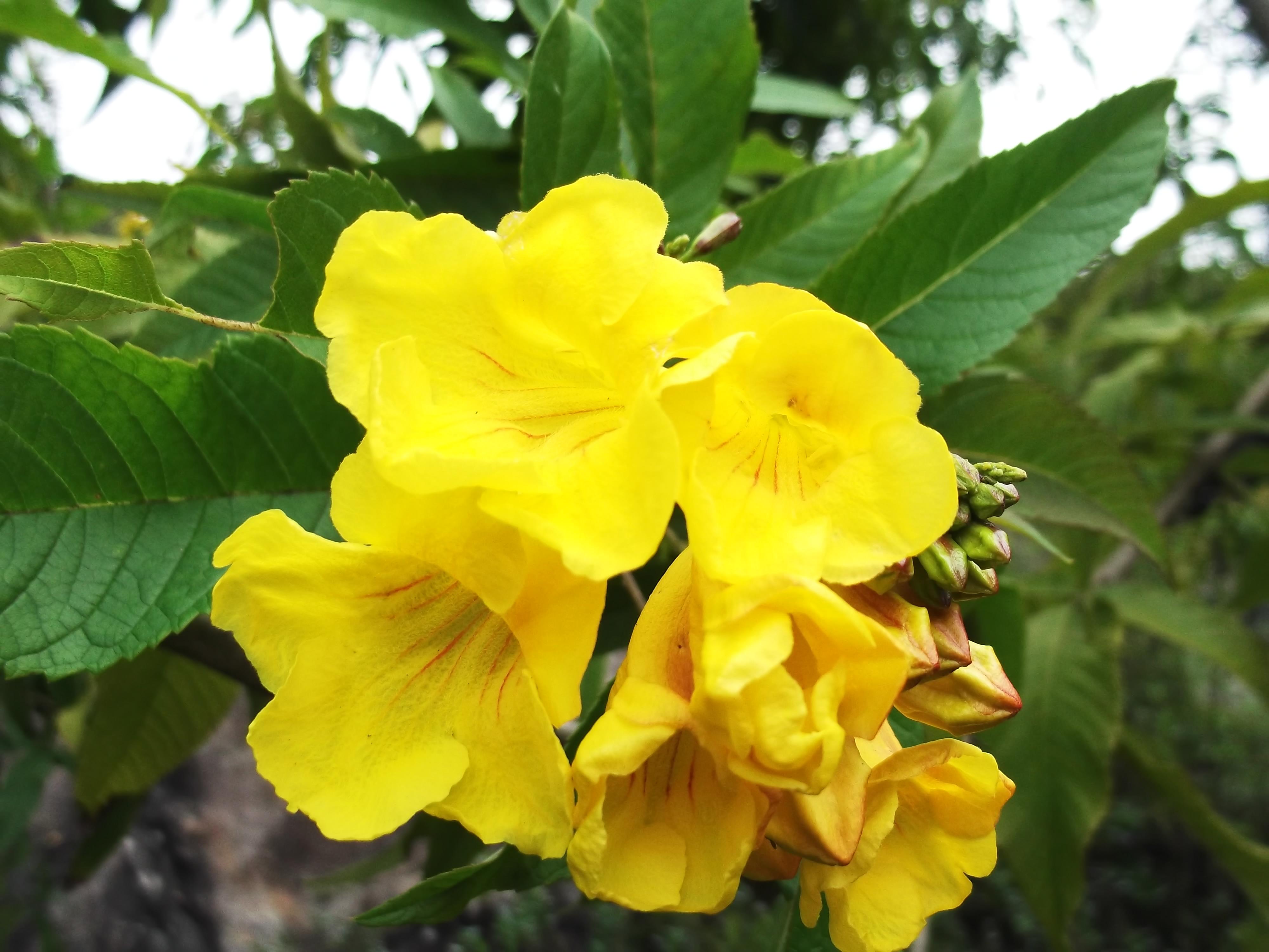 File Tecoma Stans Flowers Yercaud M India Jpg