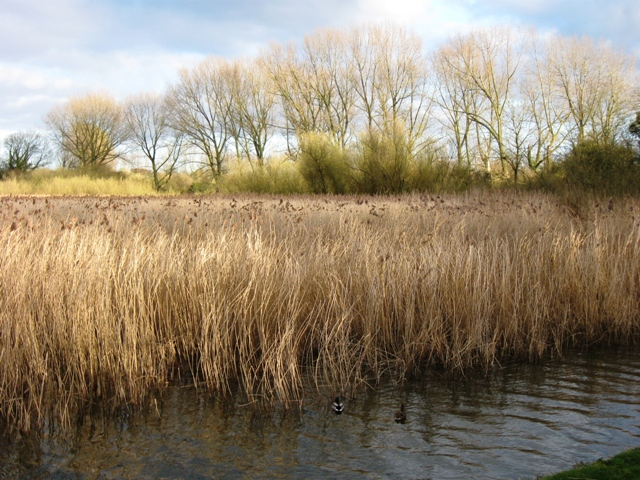 The Reed Beds at Marsworth Reservoir, Tring - geograph.org.uk - 1221149