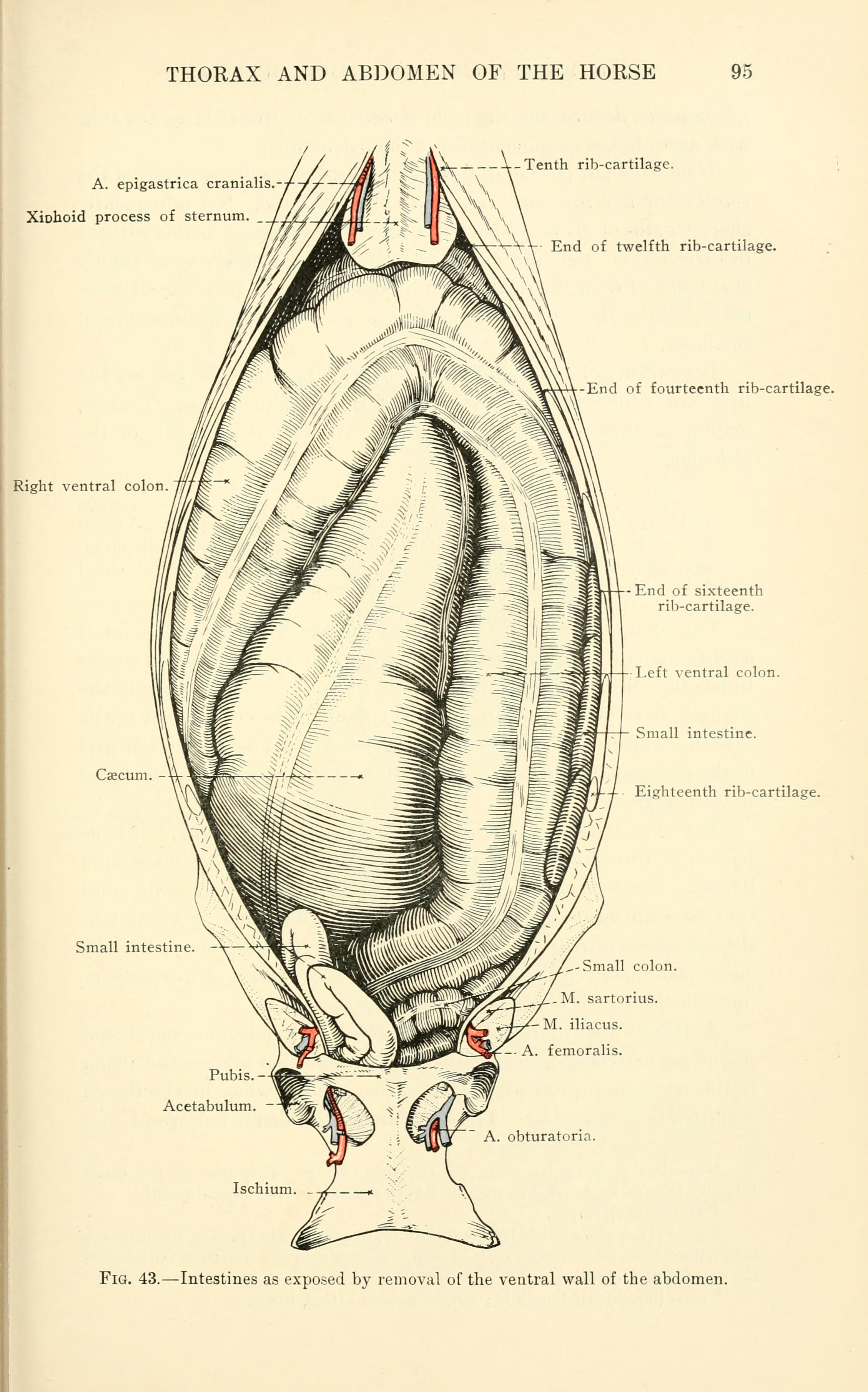 Filethe Topographical Anatomy Of The Thorax And Abdomen Of The