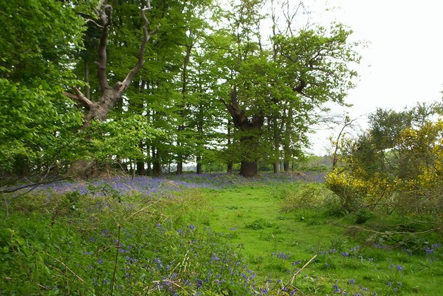 Veteran Oaks and Bluebells - Tunstall Forest - geograph.org.uk - 260956