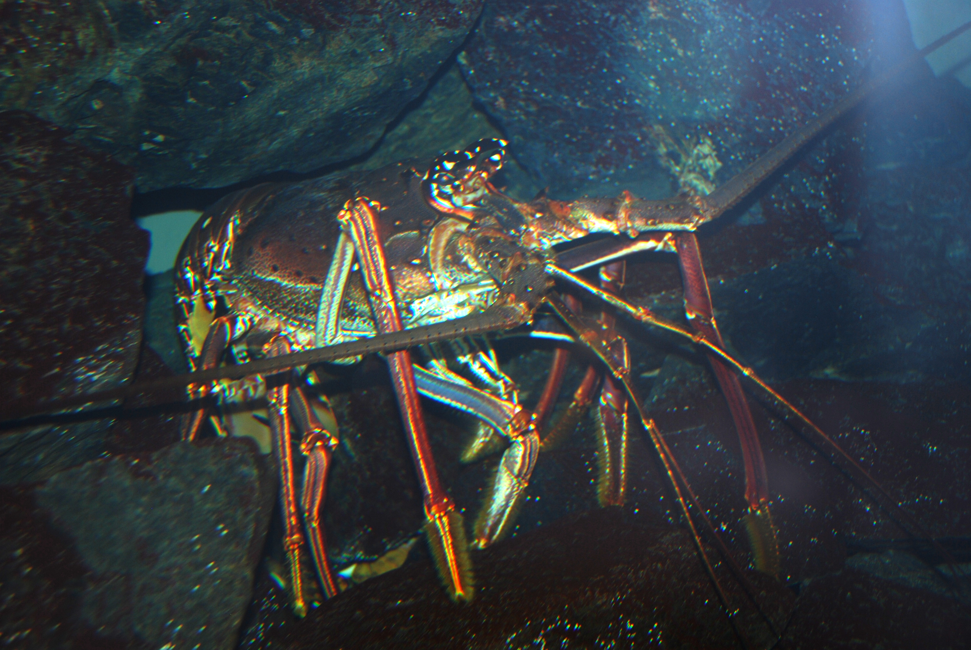 external image Washington_DC_Zoo_-_Spiny_Lobster_4.jpg
