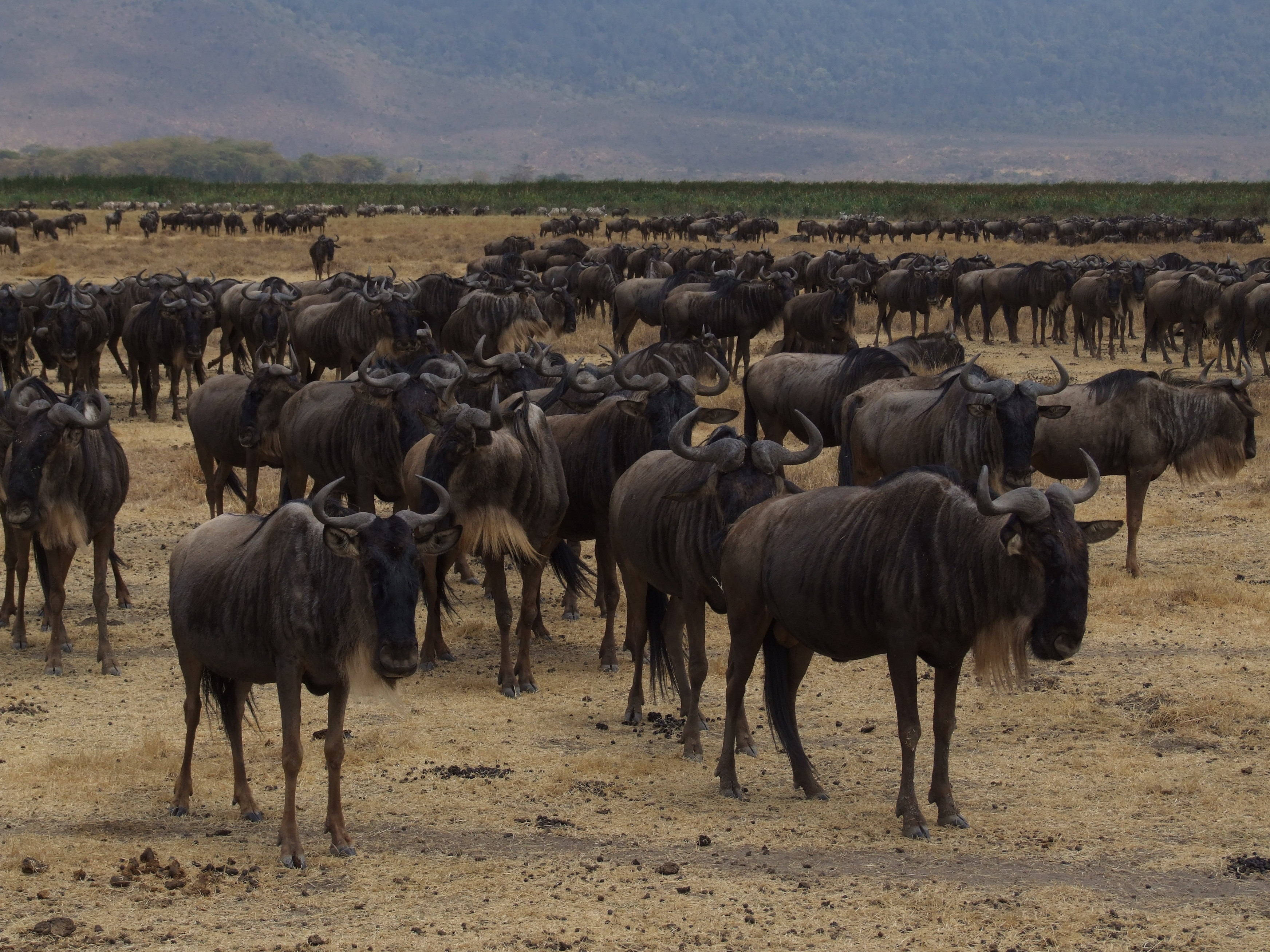 Blue Wildbeests in Ngorongoro