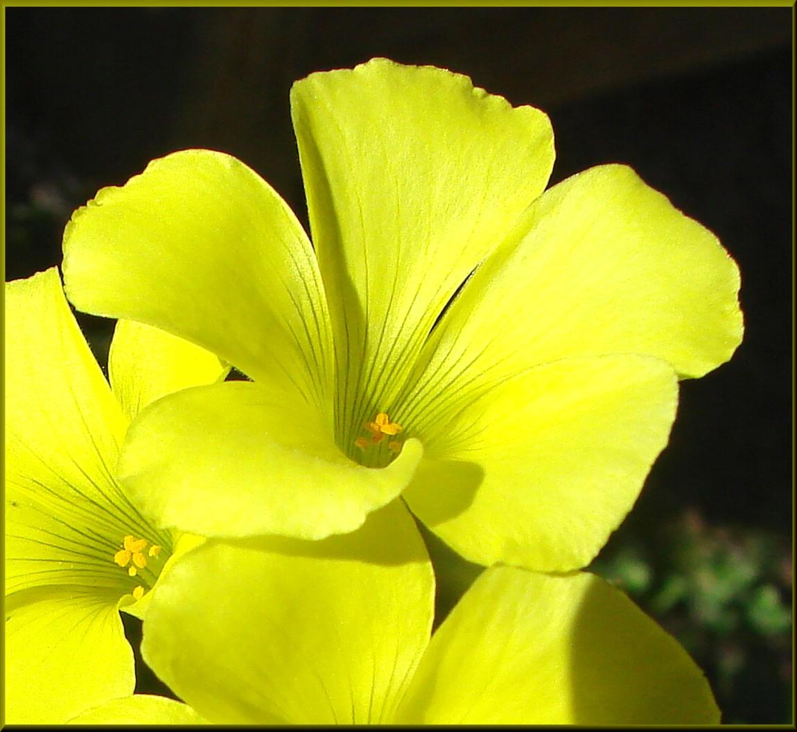 Fileyellow Clover Flower Home 3 10 13c 8552626178g