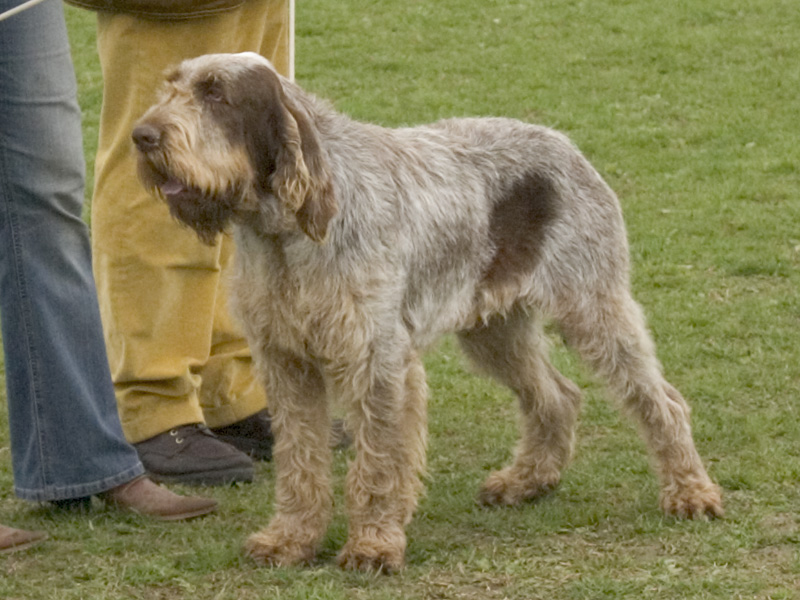 Italian Spumoni Dog Breed