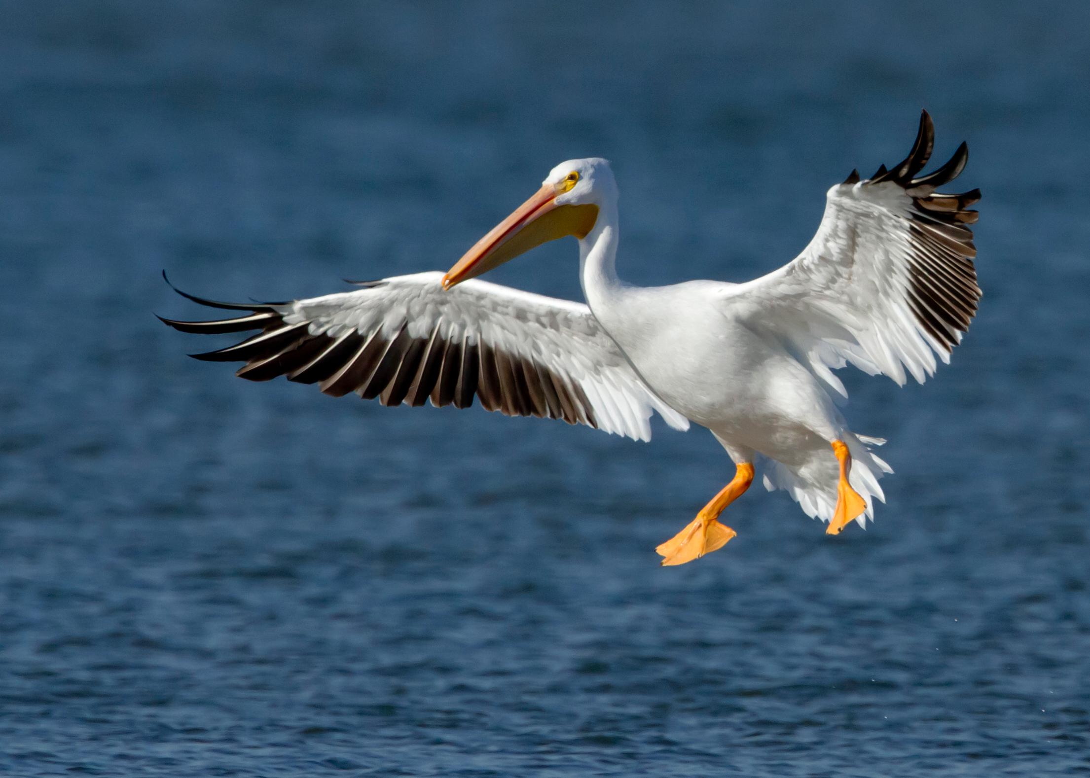American white pelican - Wikipedia