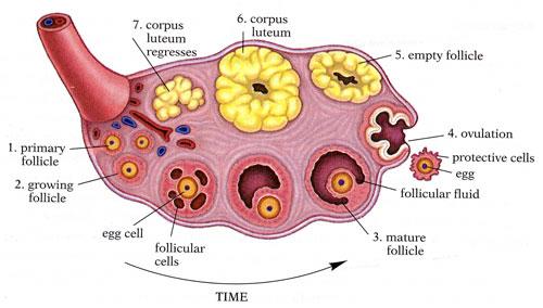 Fileanatomy Of The Ovariesg Wikimedia Commons