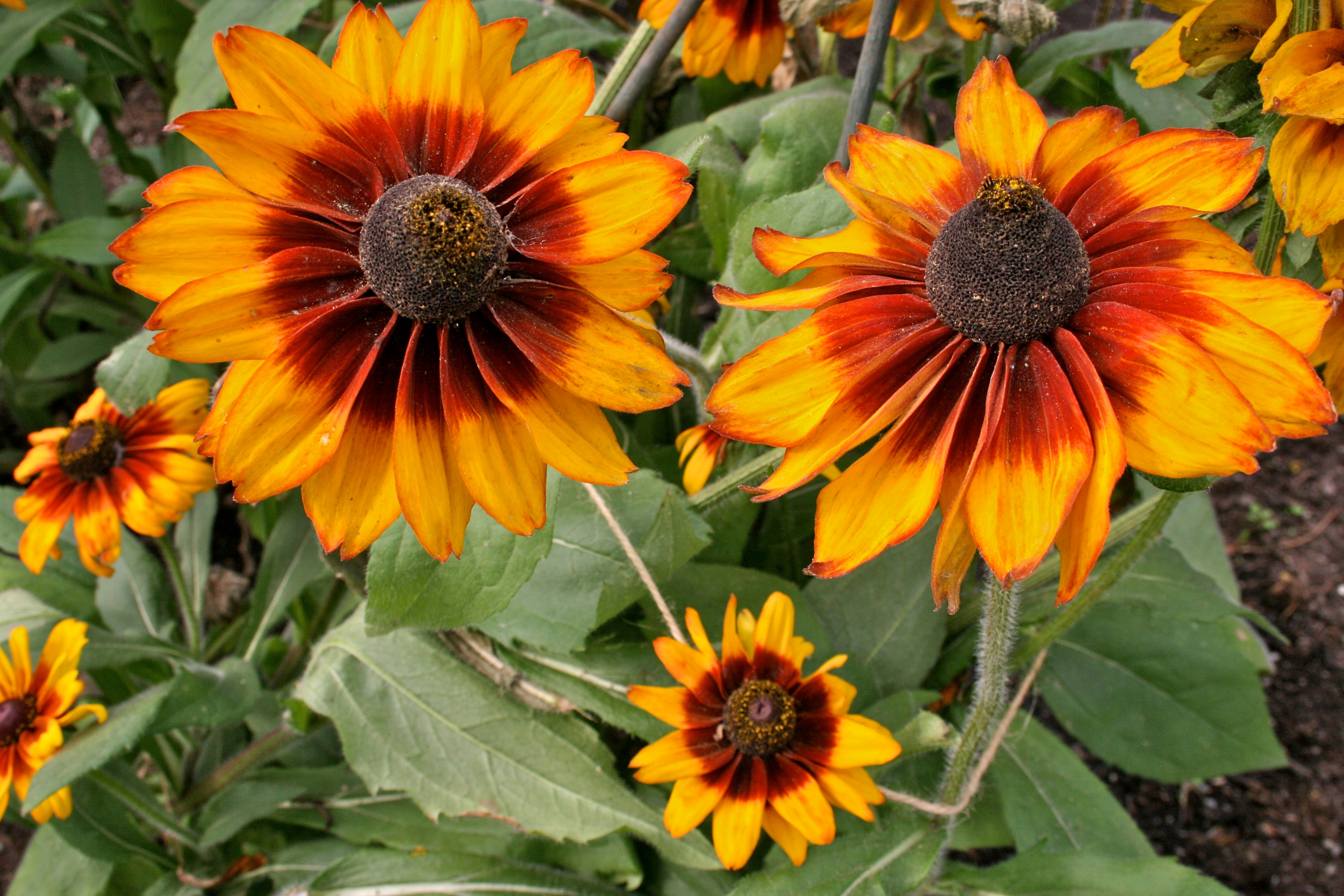 File:Asteraceae Rudbeckia 'Cappuccino'.jpg - Wikimedia Commons