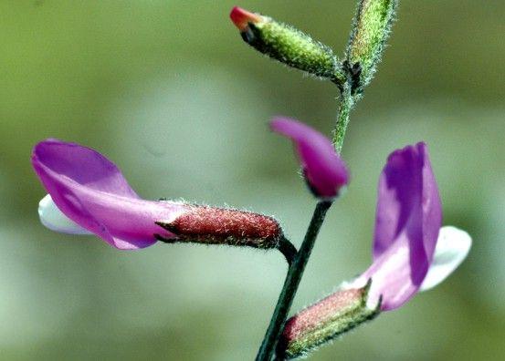 File:Astragalus mayeri.jpg