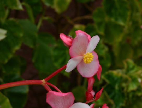 Begonia-minor-flower