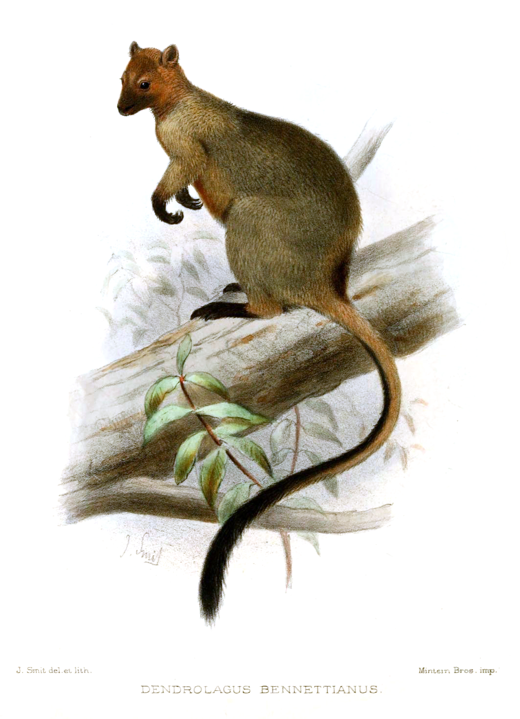 Bennetts tree kangaroo wikipedia ccuart Gallery