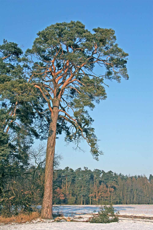 Pinus sylvestris - Wikipedia, la enciclopedia libre