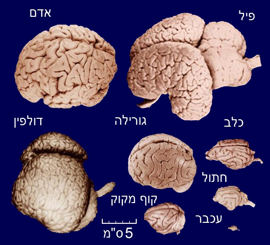קובץ:Brains-he.jpg