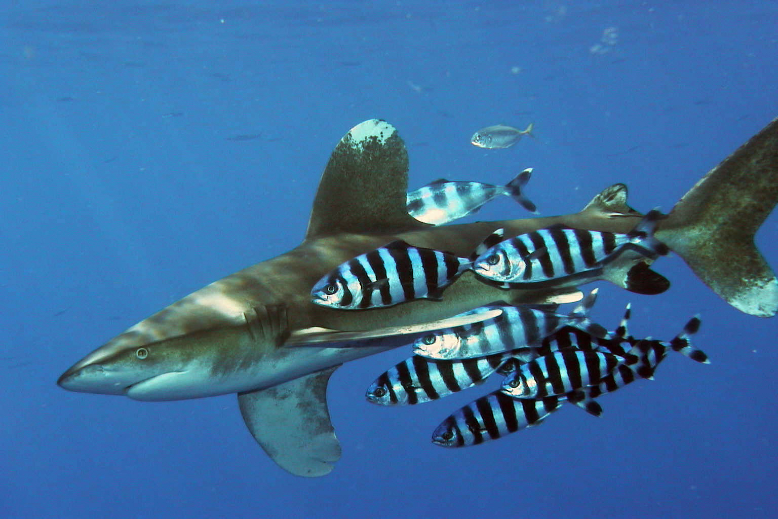 Remora And Shark Relationship