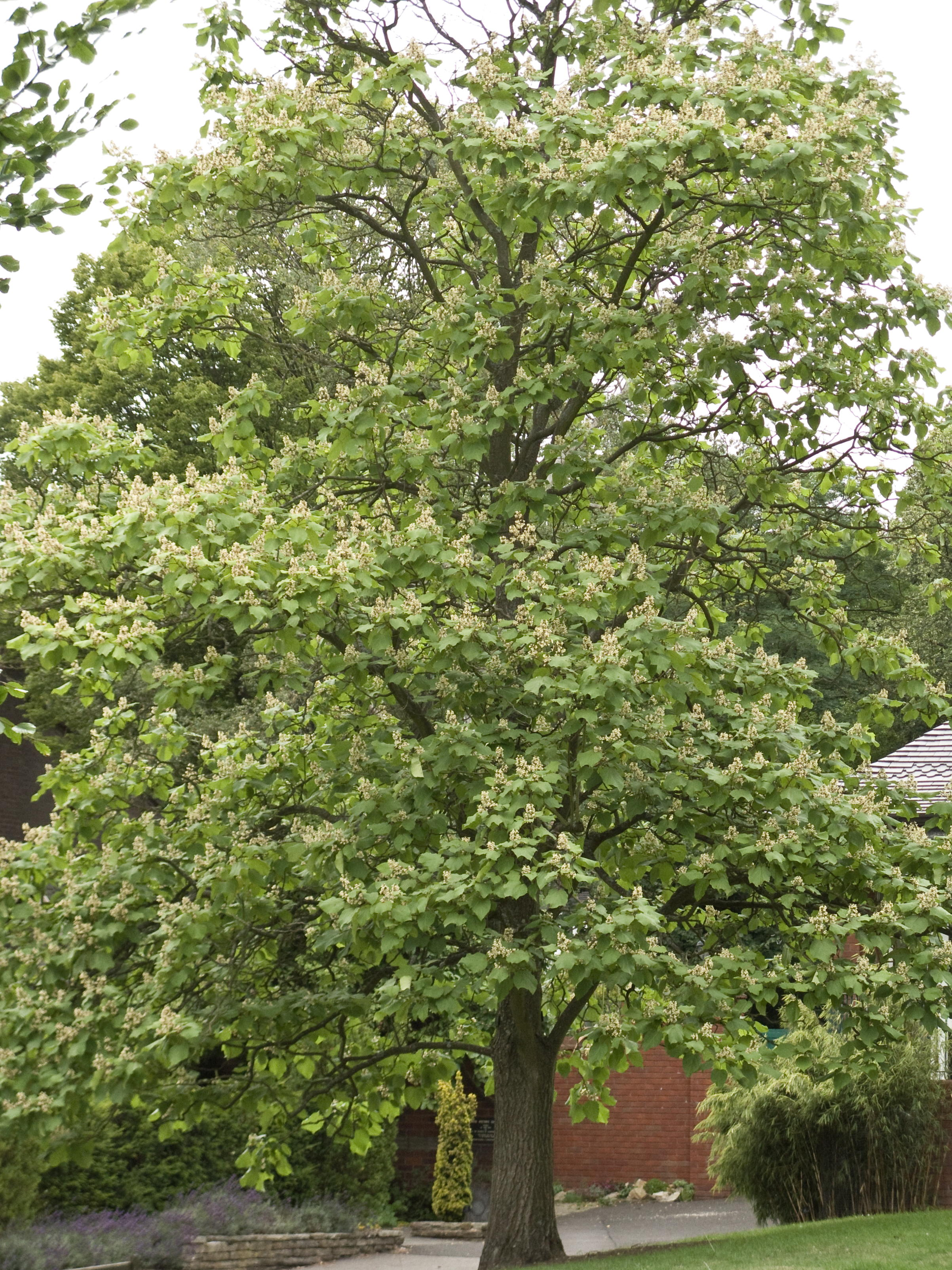 Image Result For Can A Catalpa