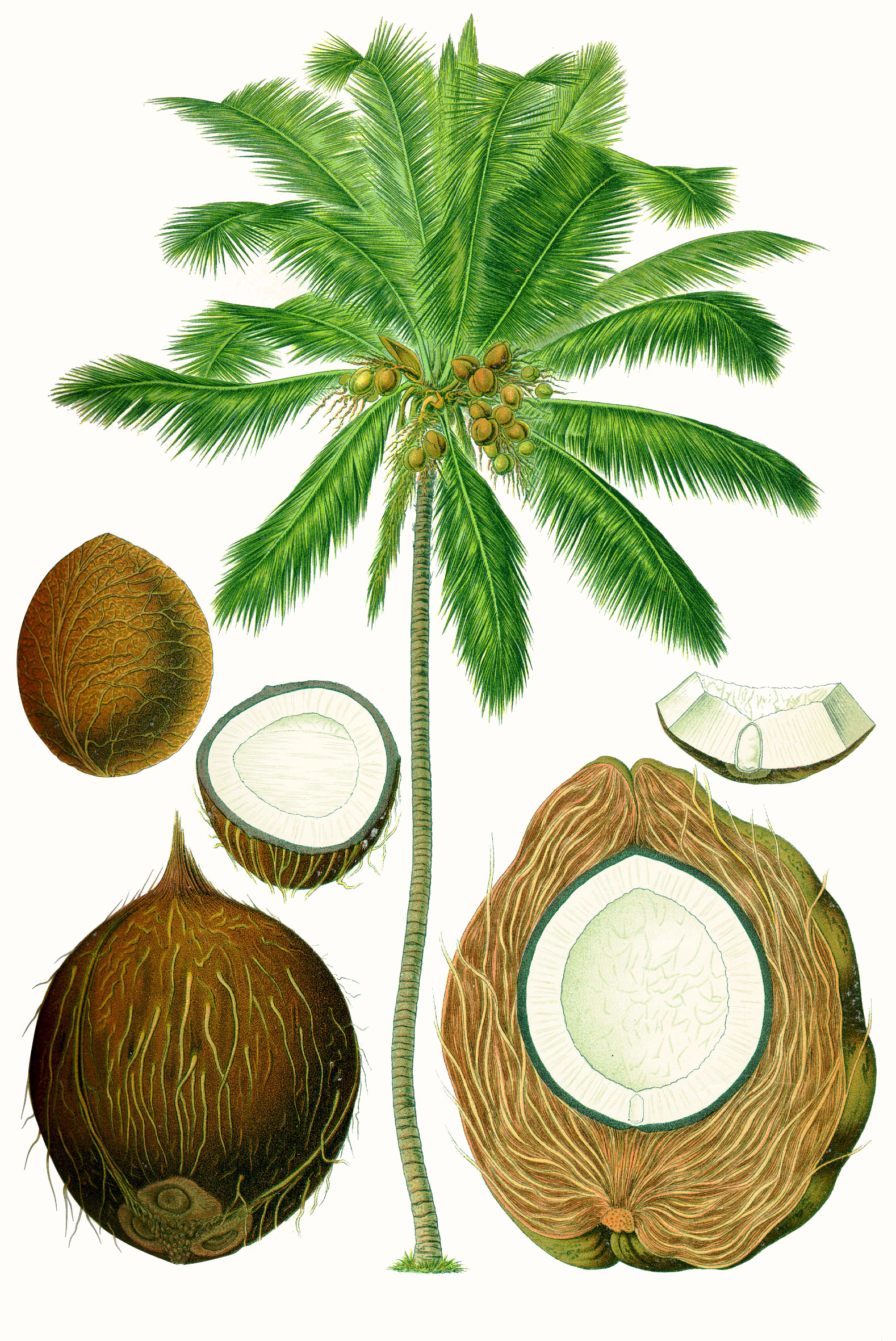 loading image for coconut palm