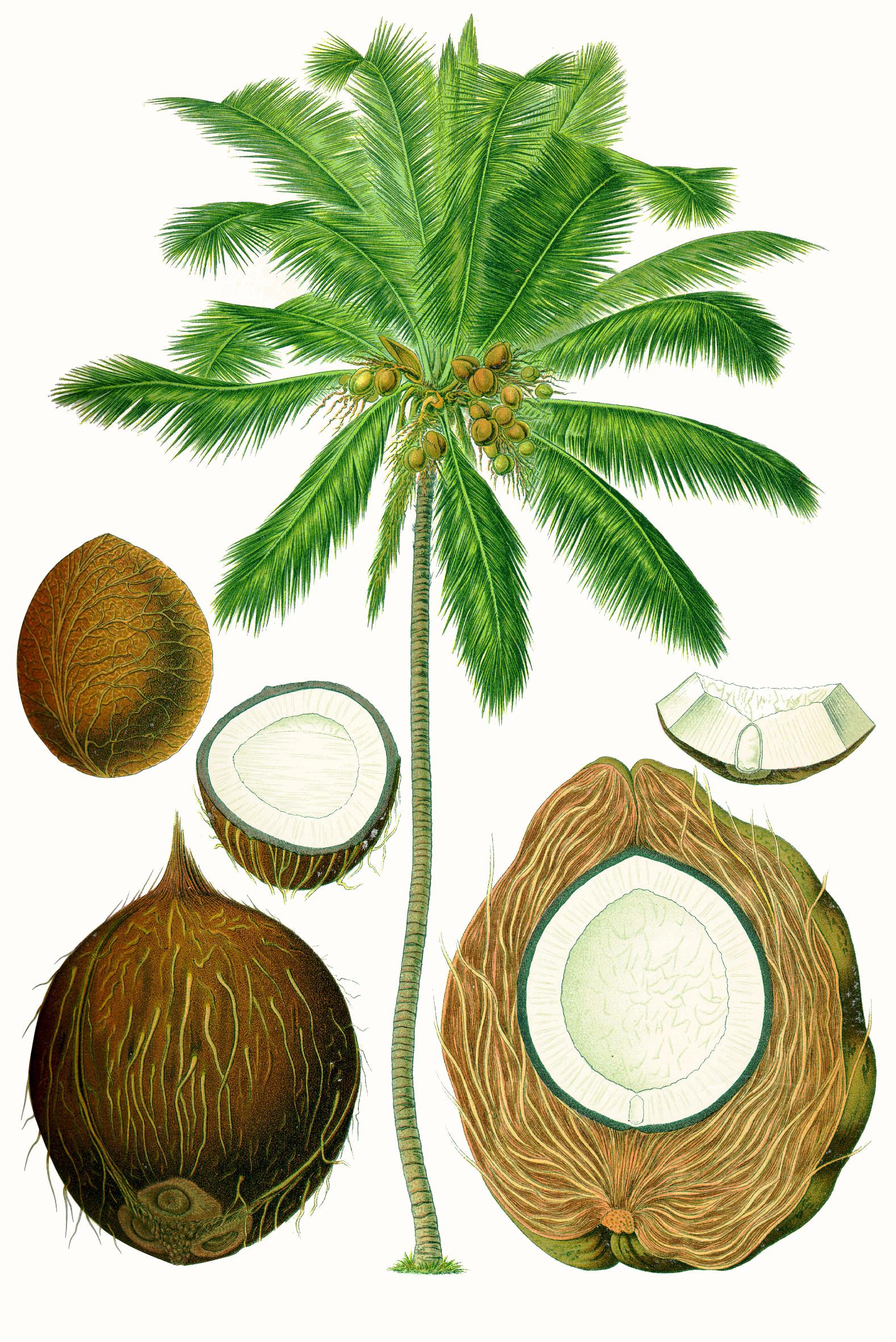 File:Cocos nucifera - Köhler–s Medizinal-Pflanzen-187.jpg