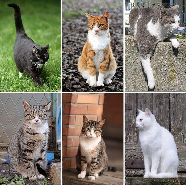 Plik:Collage of Six Cats-03.JPG