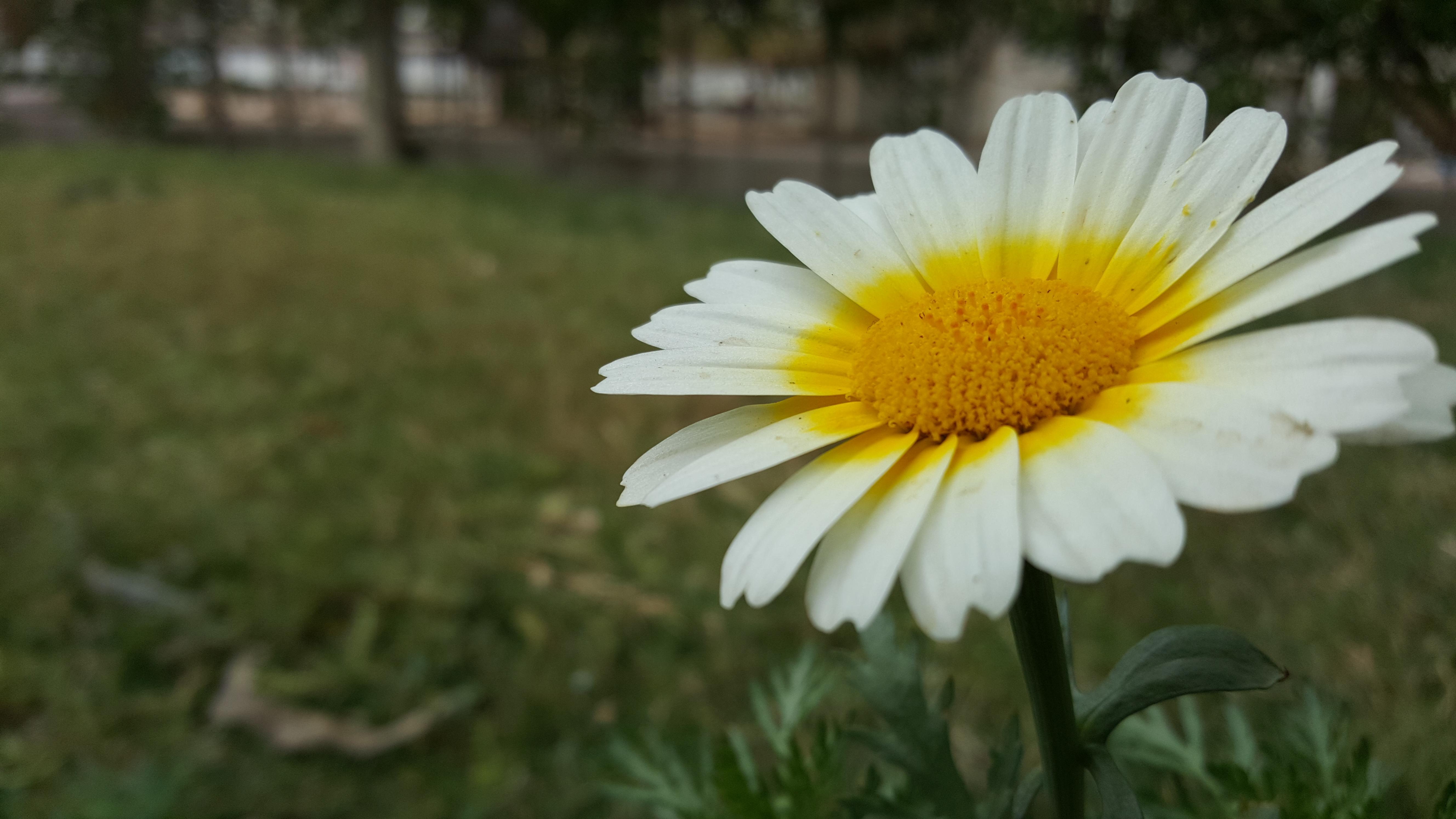 Filedaisyflowerg wikimedia commons filedaisyflowerg izmirmasajfo