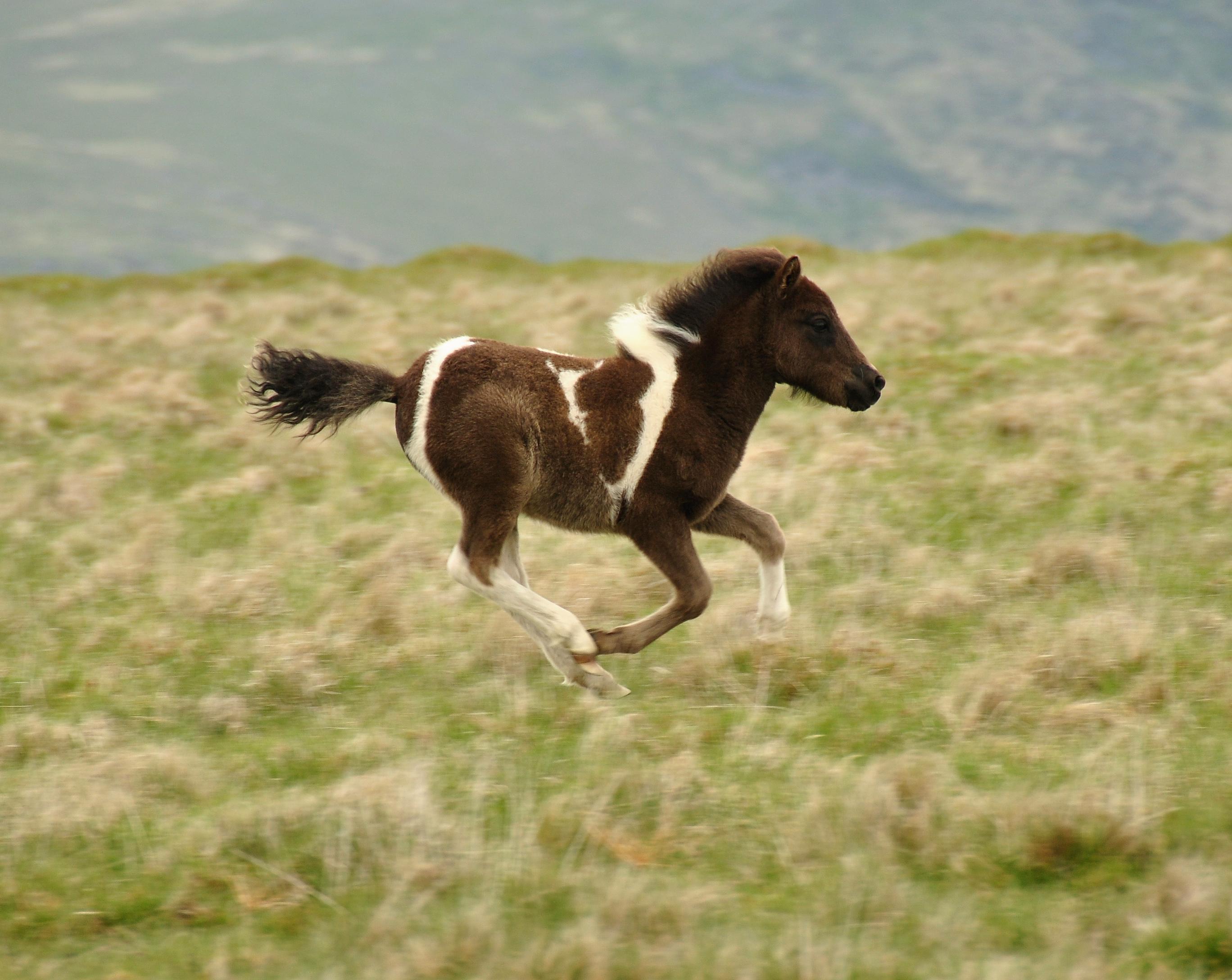 File Dartmoor Pony Foal 3 Jpg Wikimedia Commons