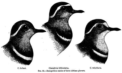 FIG. 19—Recognition marks of three African plovers.